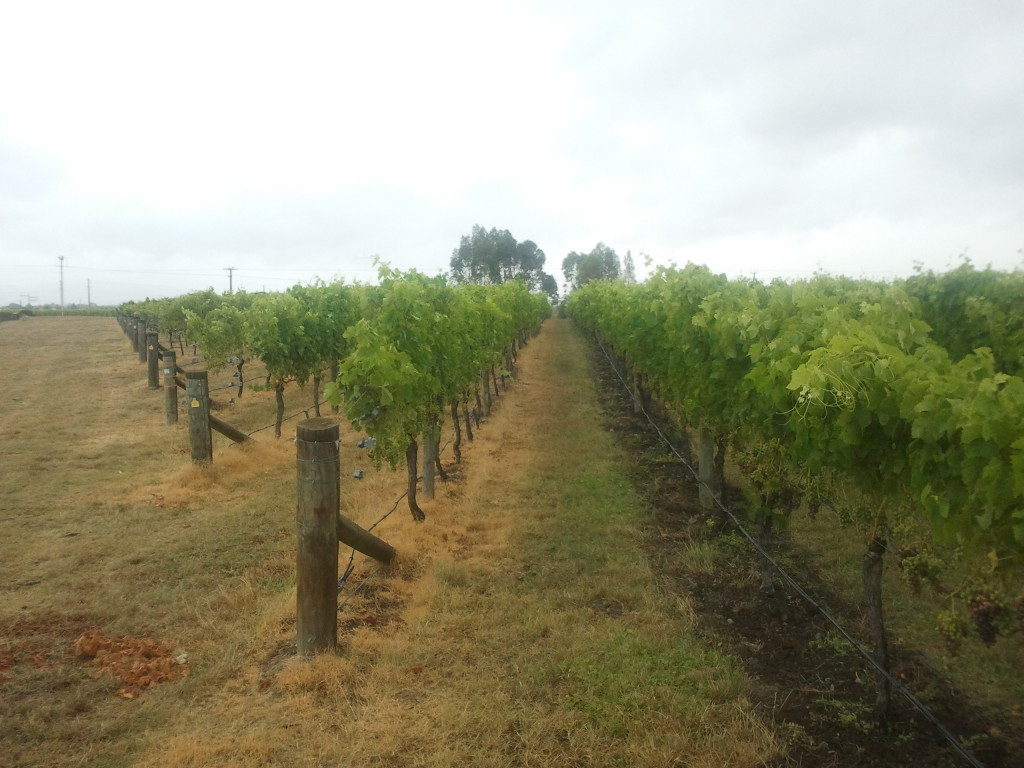 Syrah: conventional row on left, organic on right