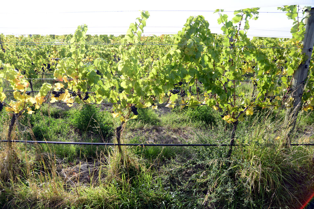 Some organic vines, especially the 777 Pinot Noir, struggled with vigour due to weed competition