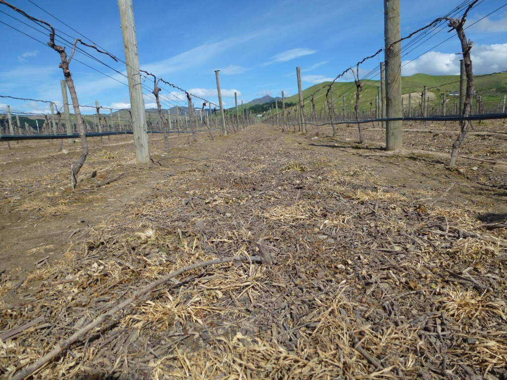 Soils in the conventional Pinot Noir: compacted and herbicided, not exactly full of life. Starting from this baseline may have made it harder for the organic vines to transition to undervine cultivation