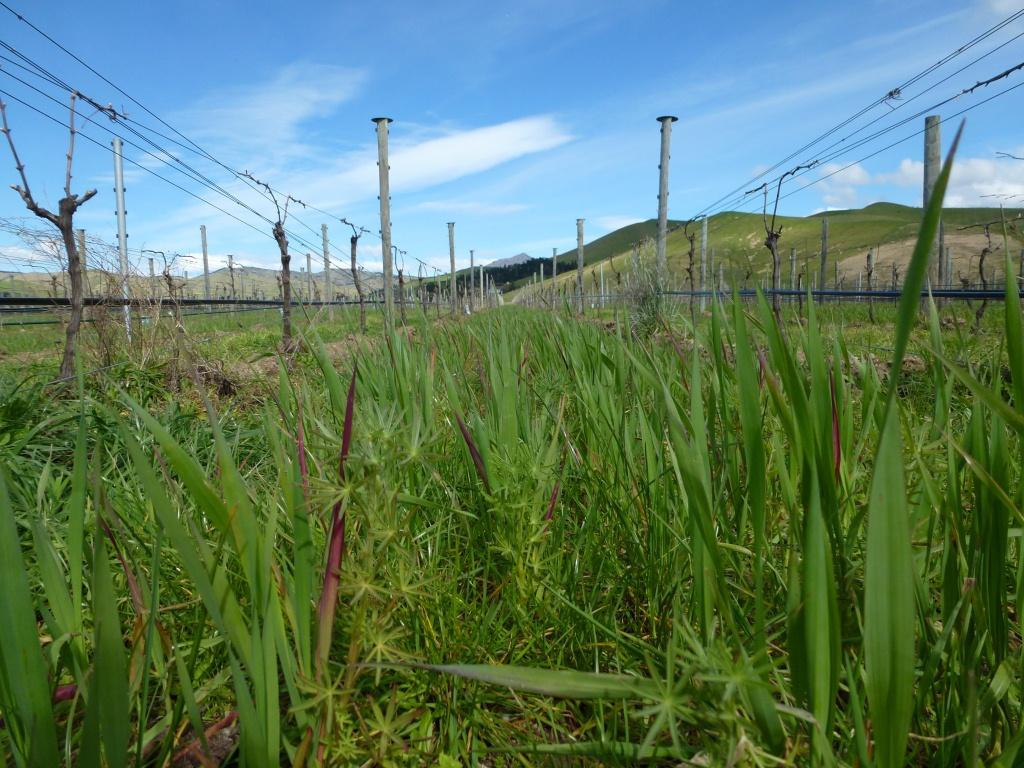 The ground floor in the organic Pinot Noir, taken at the same time: winter cover crop of lupin and oats has done well. Will this and other soil practices help the vines?