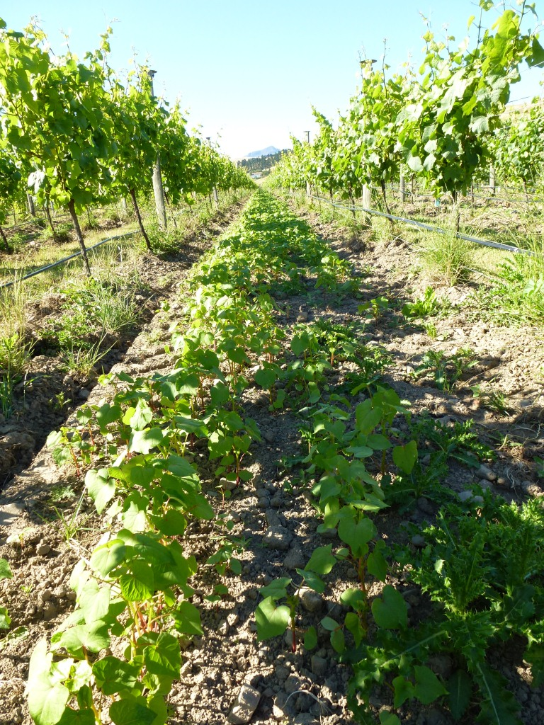 Buckwheat and phacelia cover crop in the organic Pinot Noir