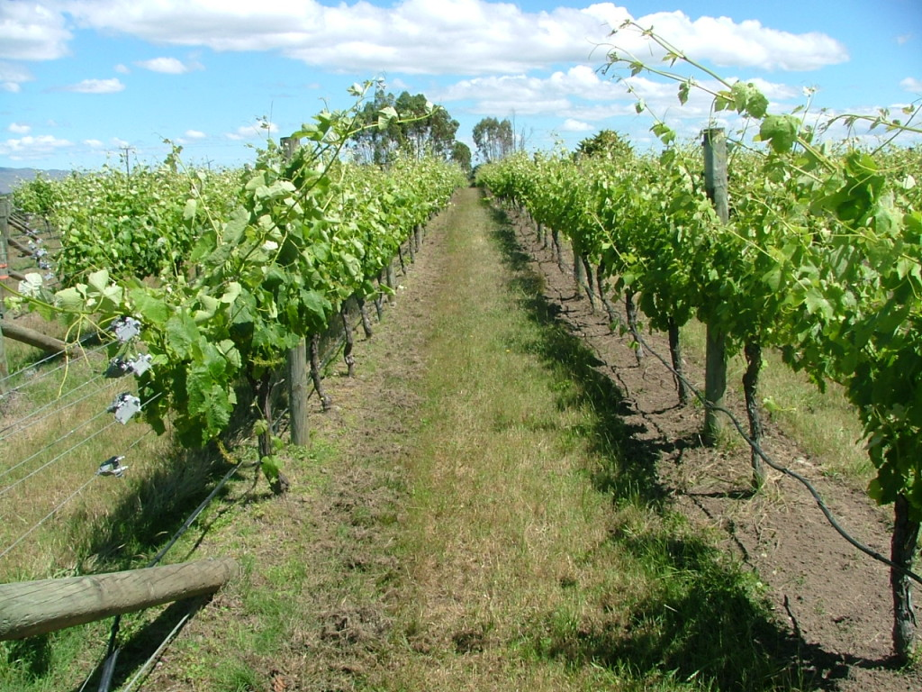 Syrah: conventional on left, organic on right