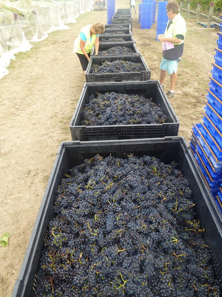 Conventional Pinot Harvest (1)