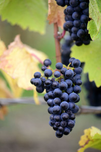 Organic Pinot Noir, Gibbston Valley Wines focus vineyard, 2014